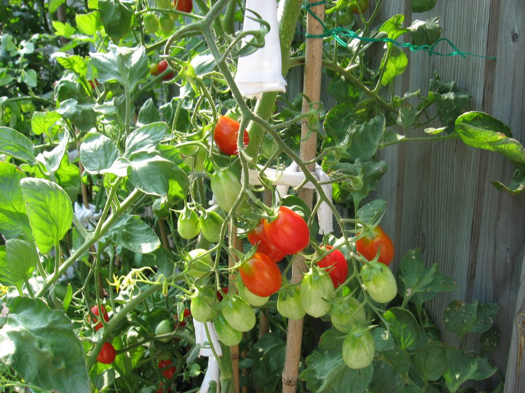 need a grape tomato? I just walk outside my kitchen door and pick one.